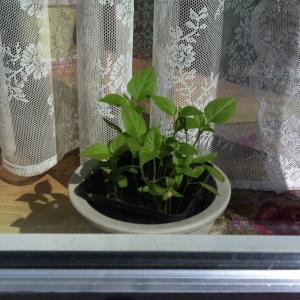 Bild von Chili-Pflanzen zwischen Fenster und Gardine