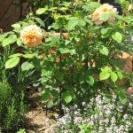 Rose begleitet von Rosmarin und Thymian - ohne Blattläuse