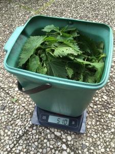 Das Mischungeverhältnis für Brenneselbrühe beträgt 1:10, also 500 Gramm Brennessel auf 5 Liter Wasser