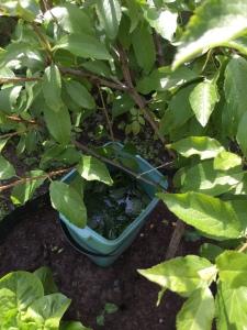 Brennesselbrühe am Einsatzort. Nach 12 bis maximal 24 Stunden die befallene Pflanze damit gießen.