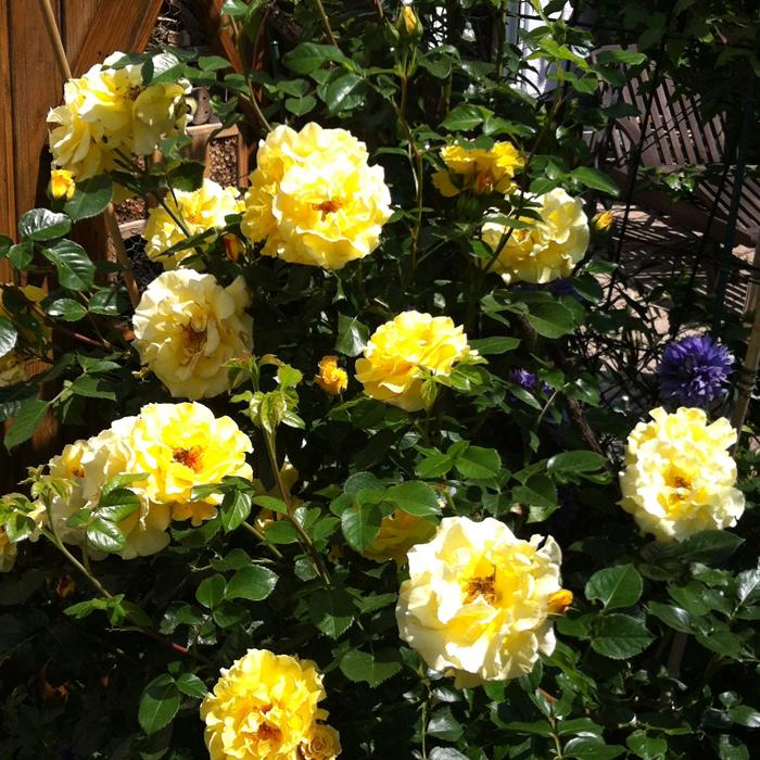 Rose ohne Blattläuse