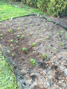 Die Erdbeerpflanzen wurden fein säuberlich getrennt.