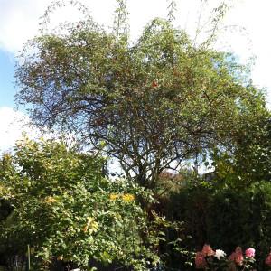 Bild einer Wildrose mit Hagebutten im Herbst.