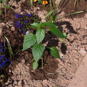 Paprikapflanze im Beet.