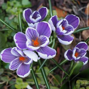 Krokus im Frühling. Jetzt ist es Zeit für viele grundlegende Gartenarbeiten.