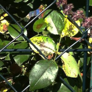 Zu eng gepflanzte Rosen: Das kann Ärger mit den Nachbarn geben aber auch verstärkt Blattkrankheiten hervorrufen.