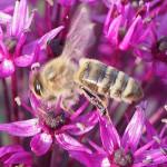 Bienenpflanze Allium (Zierlauch)