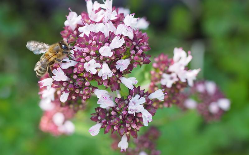Bienenpflanze Oregano