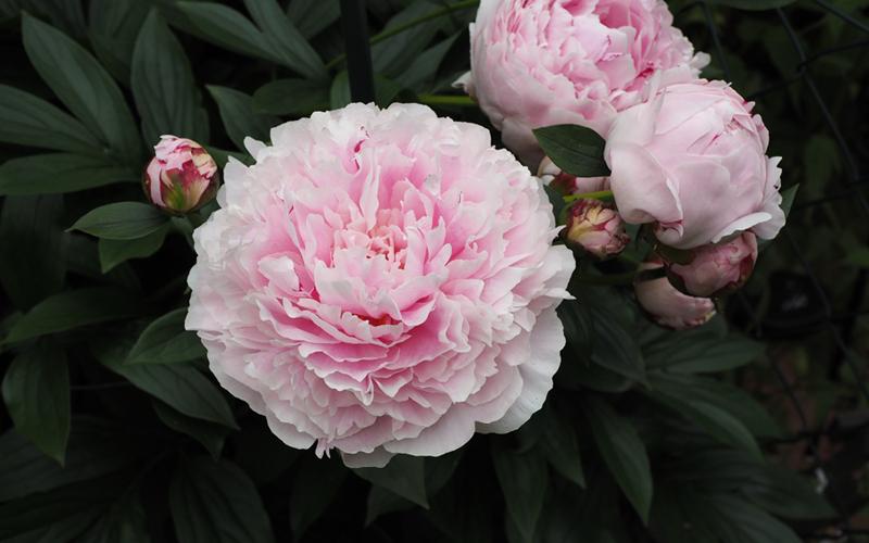 Pfingstrose - mit ihren gefüllten Blüten alles andere als eine Bienenpflanze.