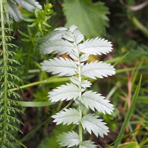 Diverse Wildkräuter:Ganz links ein gefiedertes Blatt der Schafgarbe, von hinten ragt ein Zweig Labkraut ins Bild, mittig wächst Gänsefingerkraut.