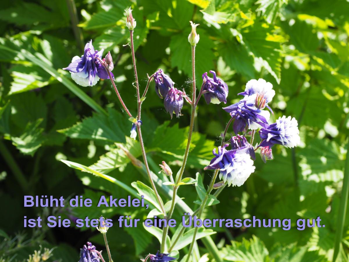 Akelei im schattigen Vorgarten